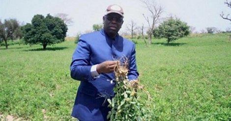Kaolack/Kaffrine : Macky Sall dans les champs auprès des producteurs
