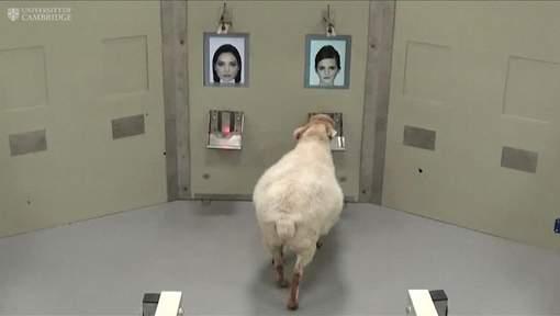 Les moutons capables de reconnaître Obama et Emma Watson sur photo