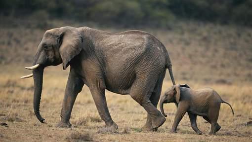 """Donald Trump """"légalise le fait de tuer des éléphants menacés"""""""