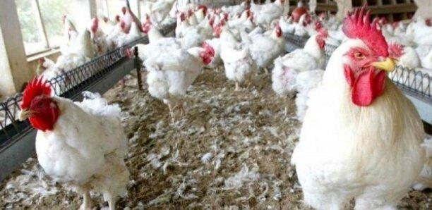 Korité 2021 : Déficit d'un million poulets, les prix flambent