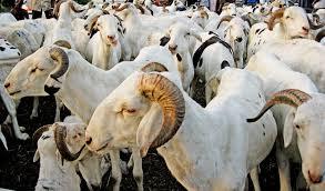 """Ziguinchor """"n'a reçu que 13% des 25 000 moutons devant alimenter le marché local"""" (inspecteur)"""