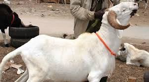 A 70 ans, il vole un mouton pour sa femme