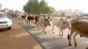 Suivez l'arrivée des bœufs de Cheikh Béthio à Touba