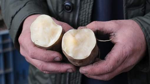 La poire de terre, le Yacon, arrive en Belgique
