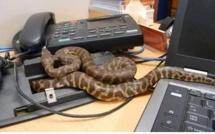 Liberia : le président George Weah privé de bureau par… deux serpents
