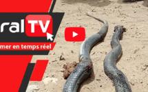 Sipres 5 de Mbao : Des serpents sèment la terreur, les habitants interpellent les autorités