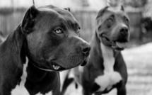 Talibé attaqué par un pitbull : Les aveux du propriétaire du chien et l'état de santé du talibé