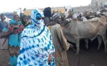Préparation du Magal de Touba-  Sokhna Aïda Diallo Thioune se rend au Mali pour l'achat de ...7500 boeufs (VIDEOS)