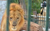 UN LION MORD UN EMPLOYÉ DU PARC HANN