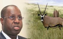 """Gazelles Oryx: un """"braconnage"""" à 100 Millions"""
