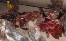 Abattage clandestin : Une importante quantité de viande de cheval retrouvée dans le frigo du boucher Tidiane Ndiaye